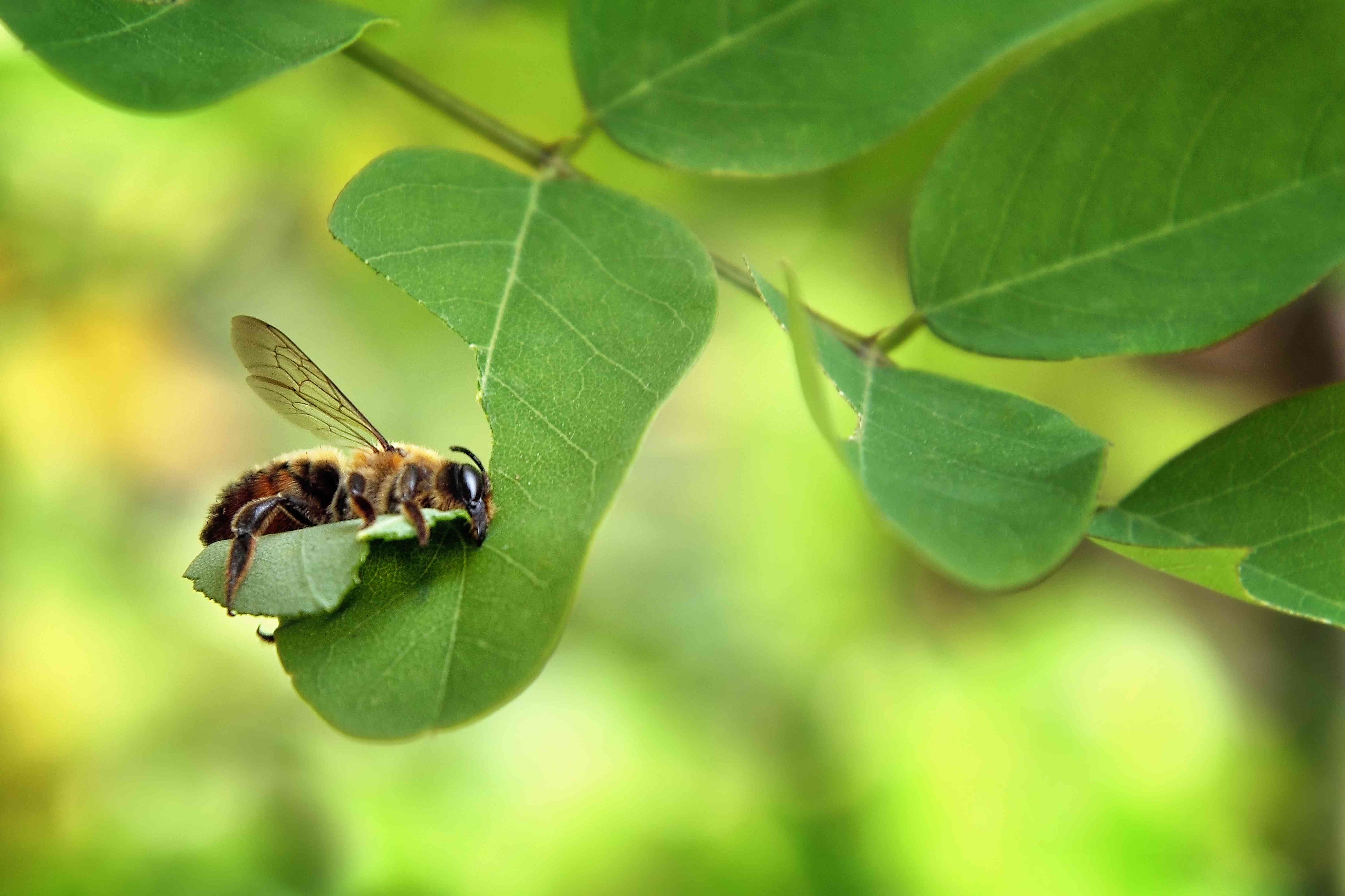 Leafcutter bee chewing on a leaf