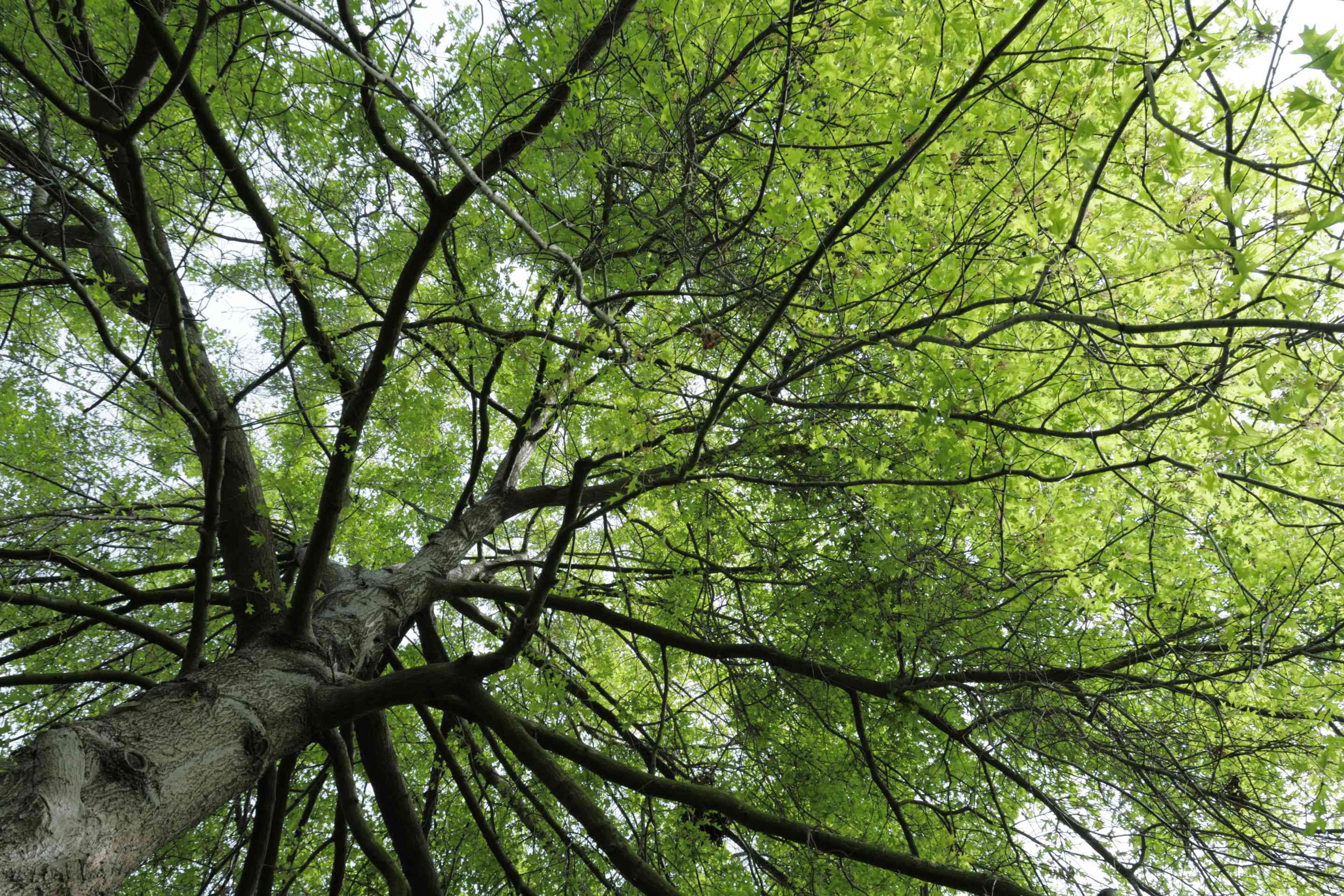 A shot looking up at a mature large Pin Oak tree with green leaves.