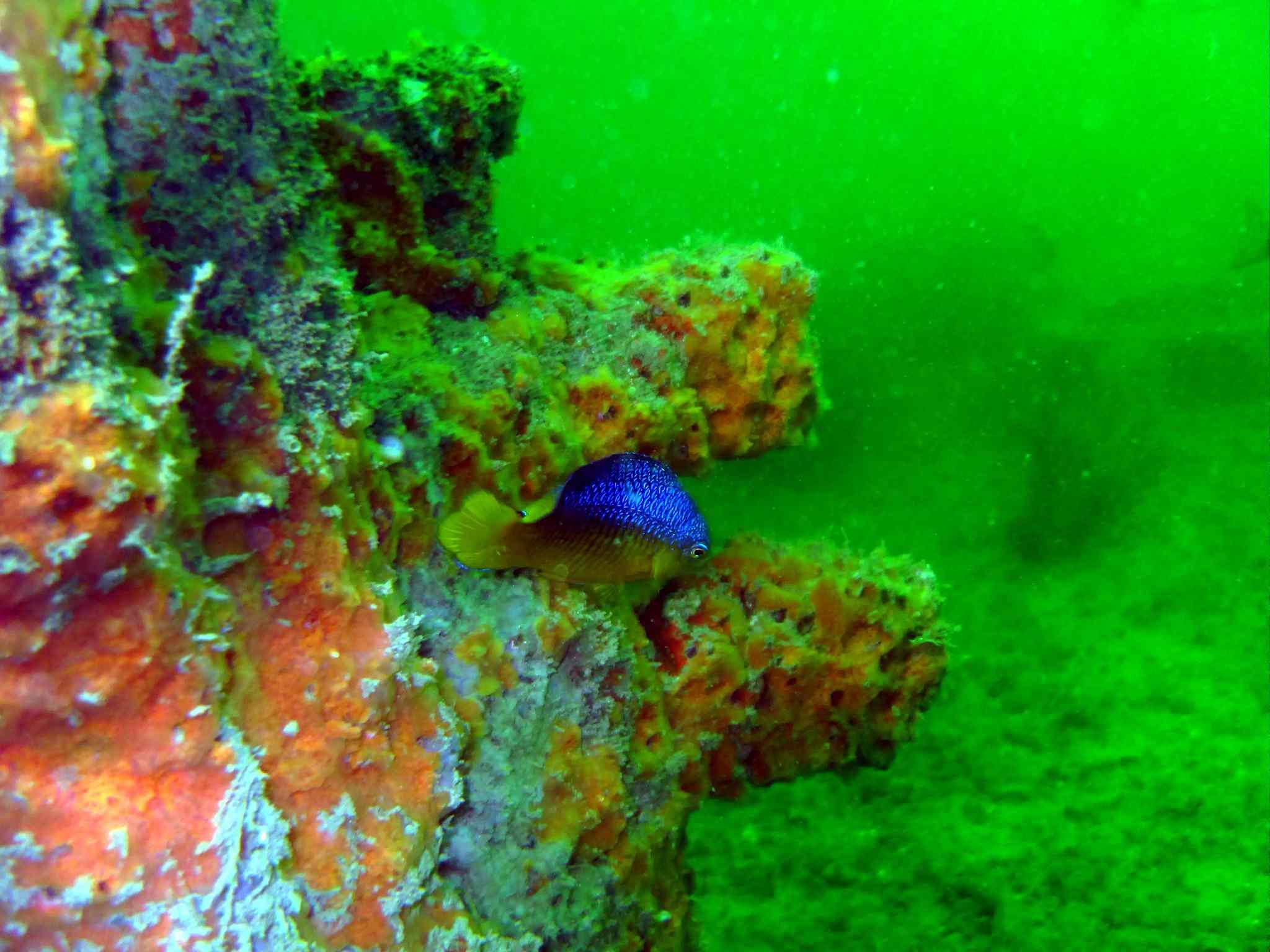 blue damselfish farming algae in green water