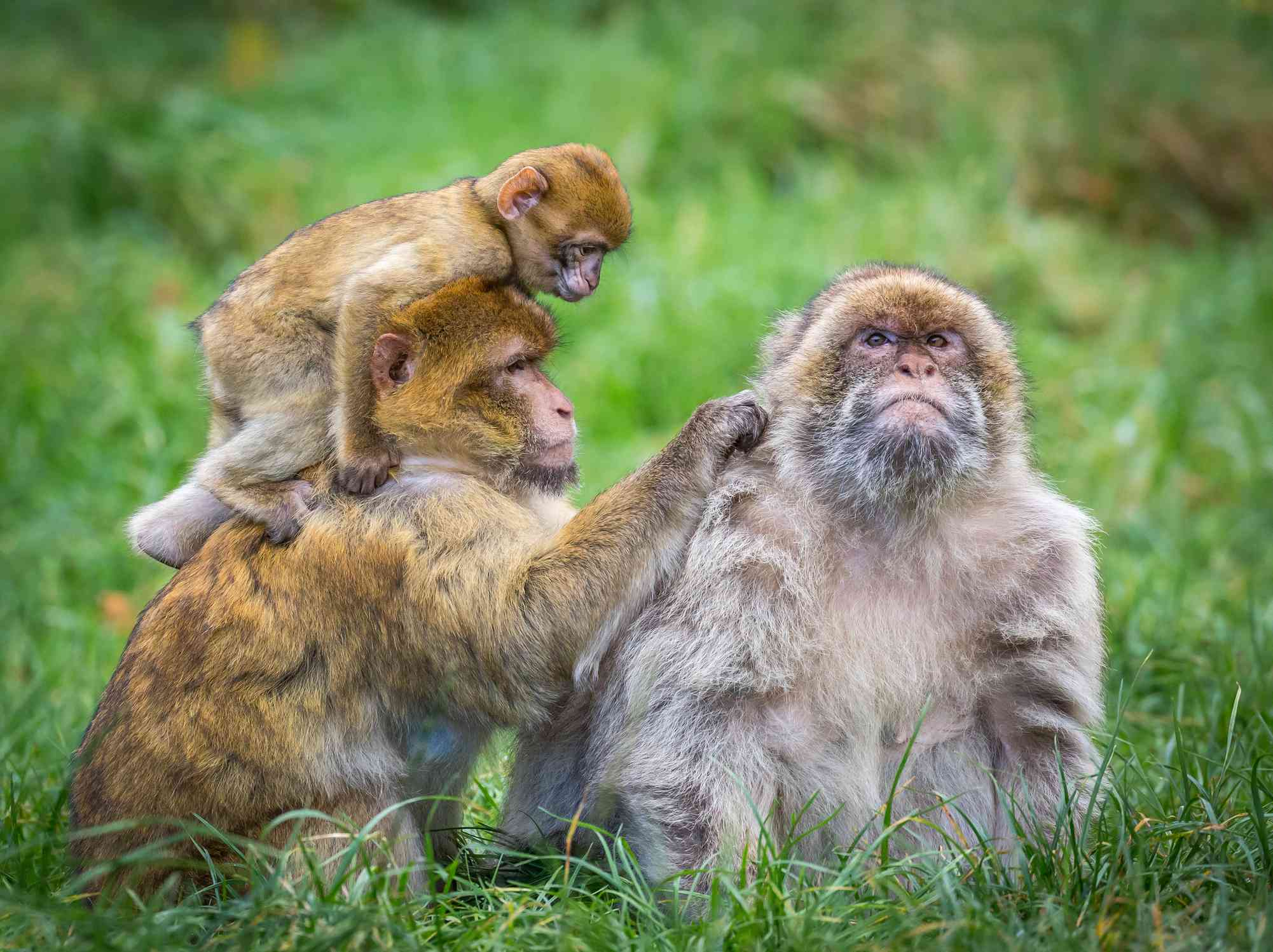 Family of three Barbary macaques sitting in grass