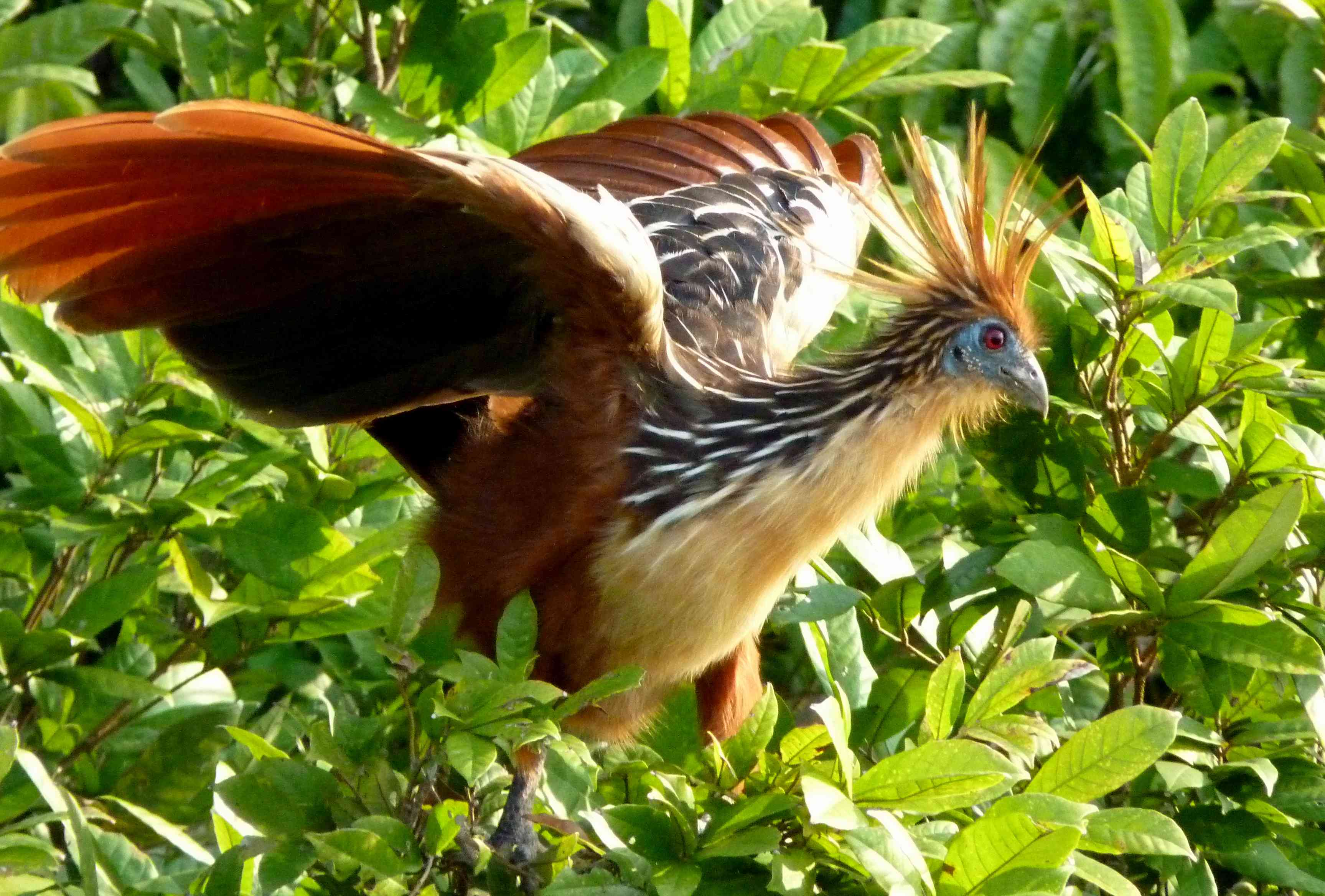 A hoatzin, with spiky orange head feathers with its wings spread open on bright green leafy plant
