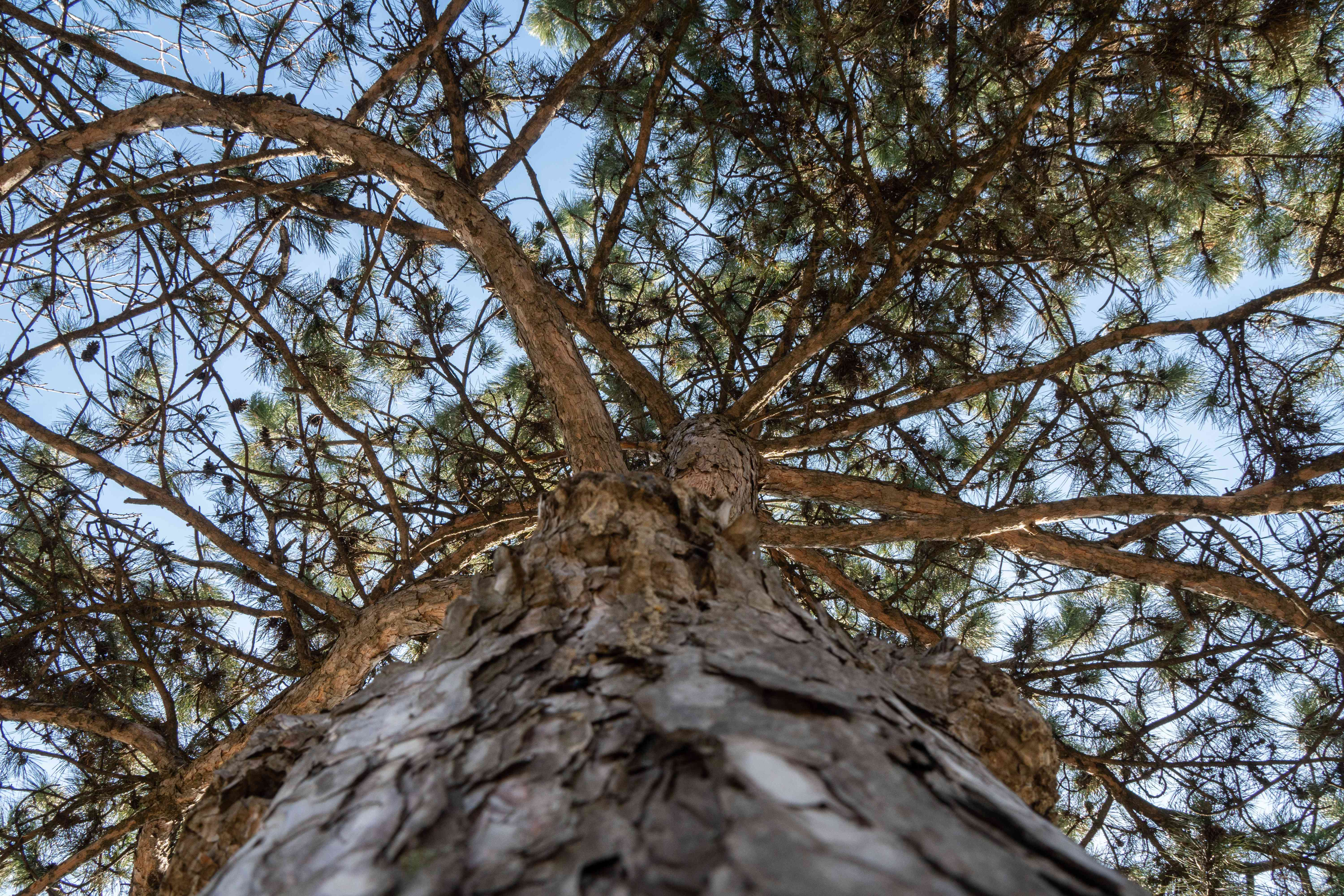 looking up shot into thick pine tree with needles against blue sky