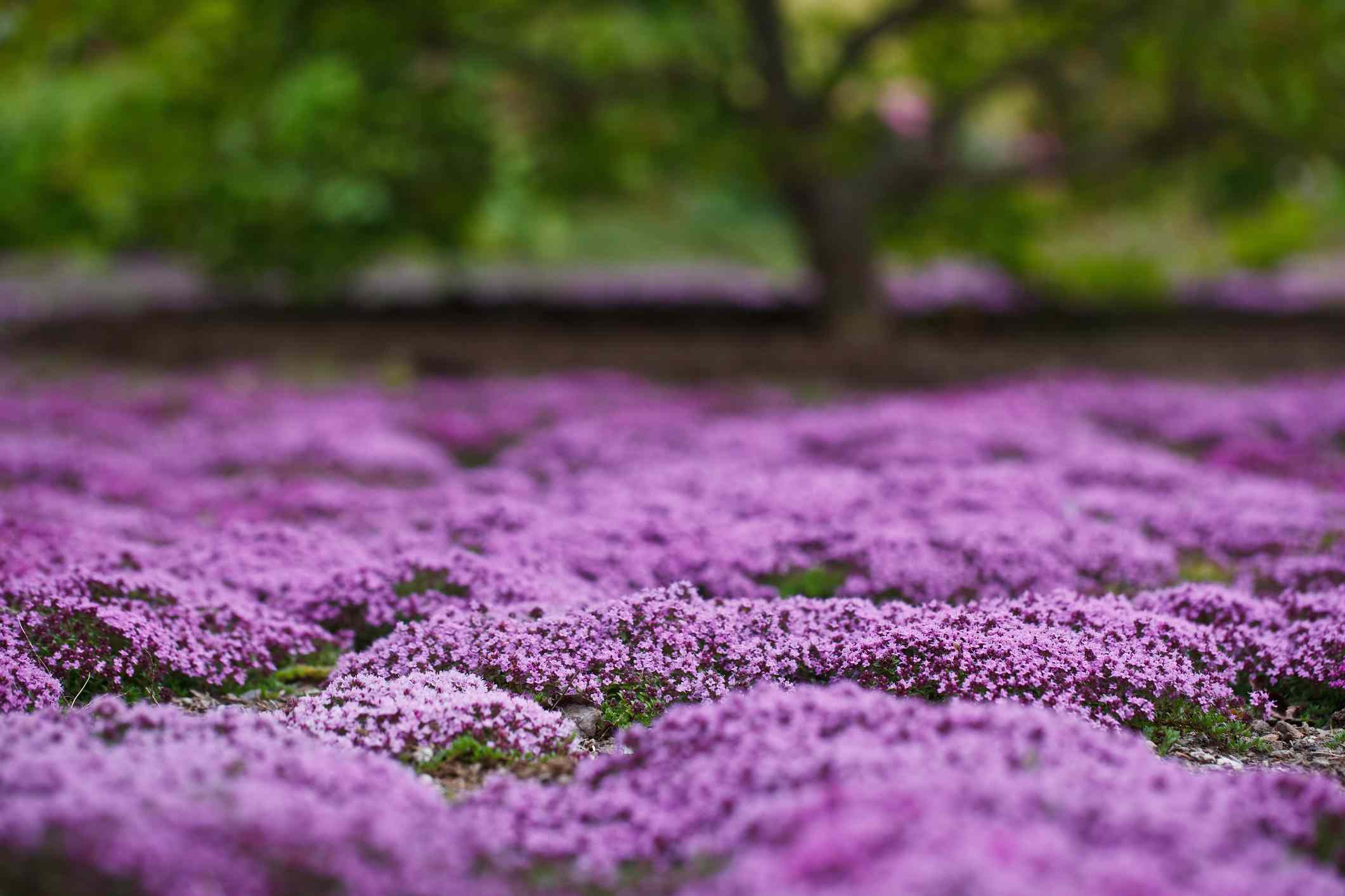 A field of purple creeping thyme with a tree in the background.