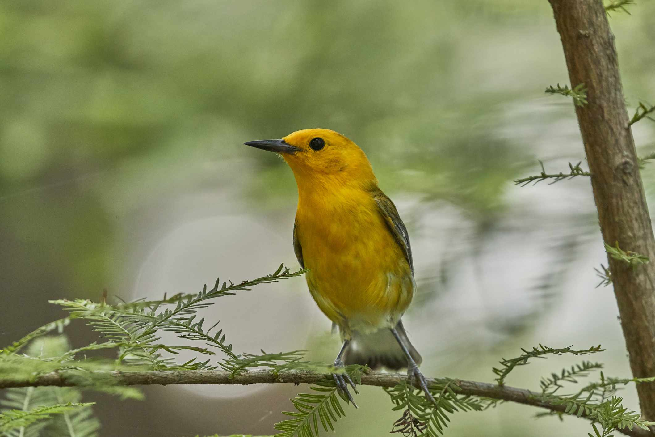 Prothonotary Warbler perched on an evergreen stem