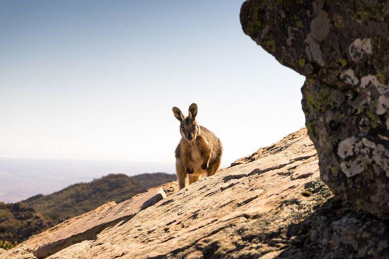 Australia arroja comida a los canguros hambrientos