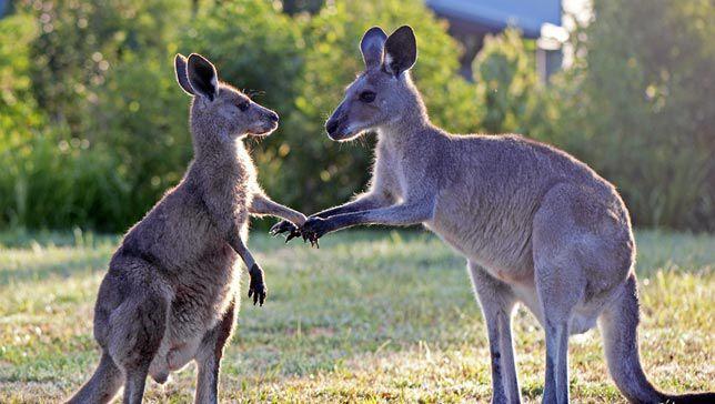 Casi todos los canguros son zurdos
