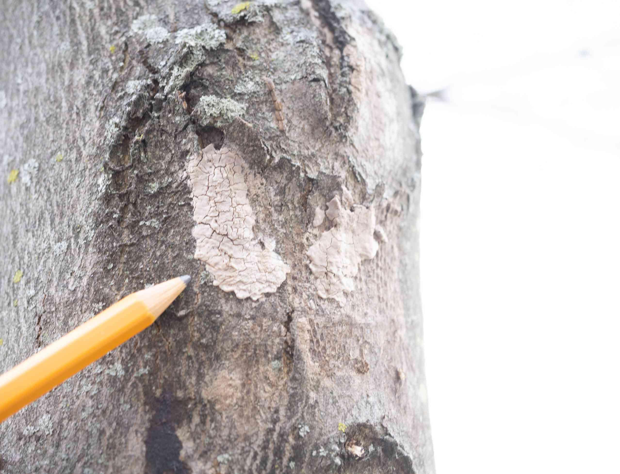 spotted lanternfliy egg mass blends into tree bark