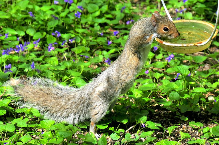 A squirrel reaching for water