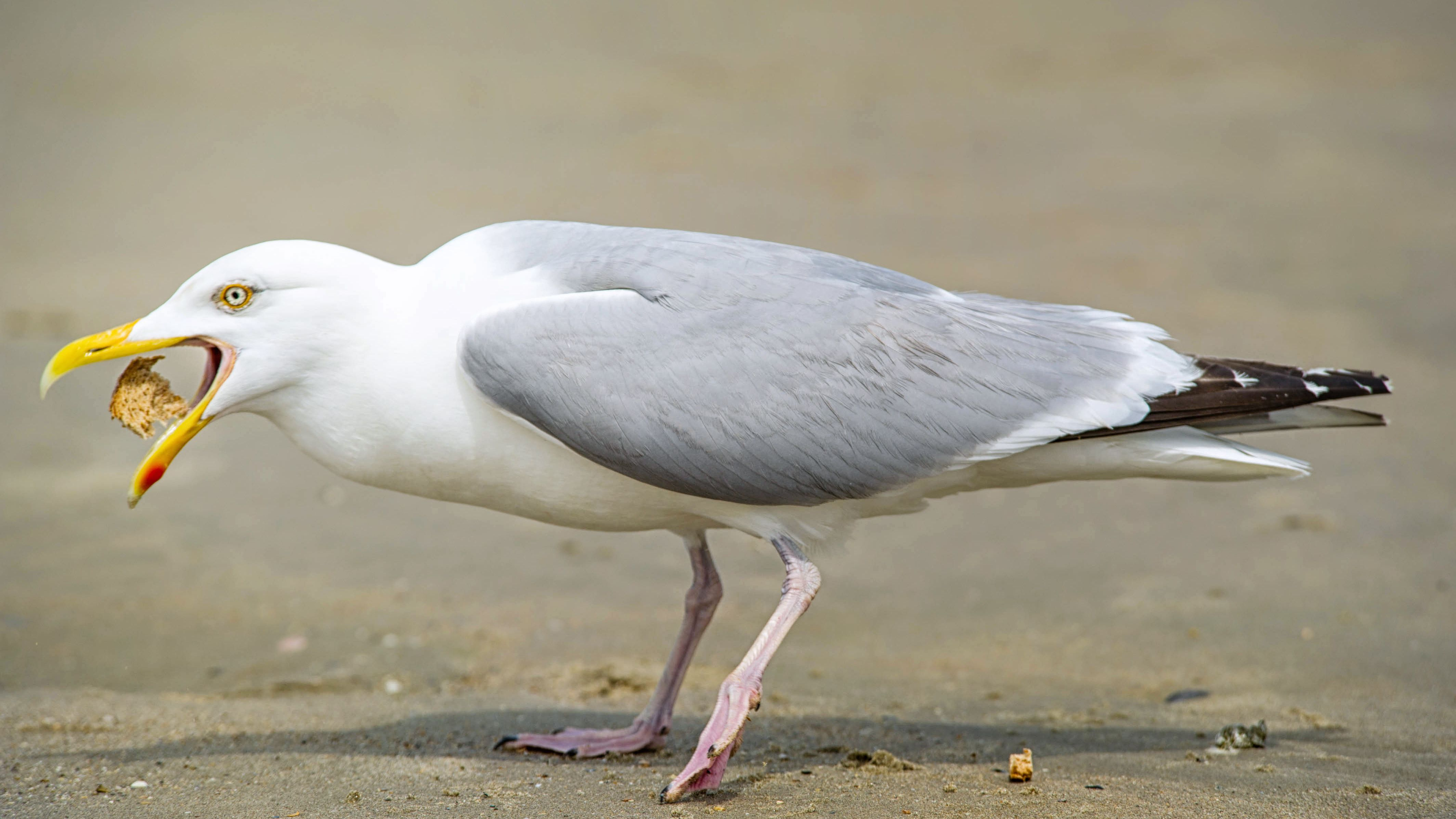 Seagulls Like Food Better if Humans Touch It First
