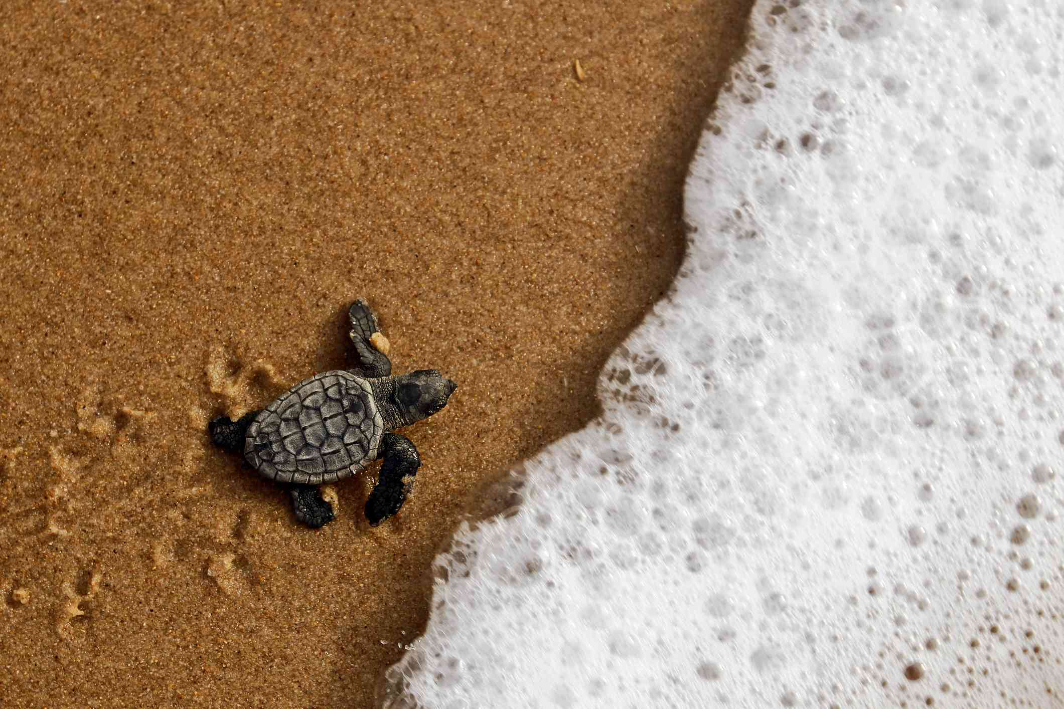 A hatching loggerhead sea turtle making its way to the ocean in Brazil.