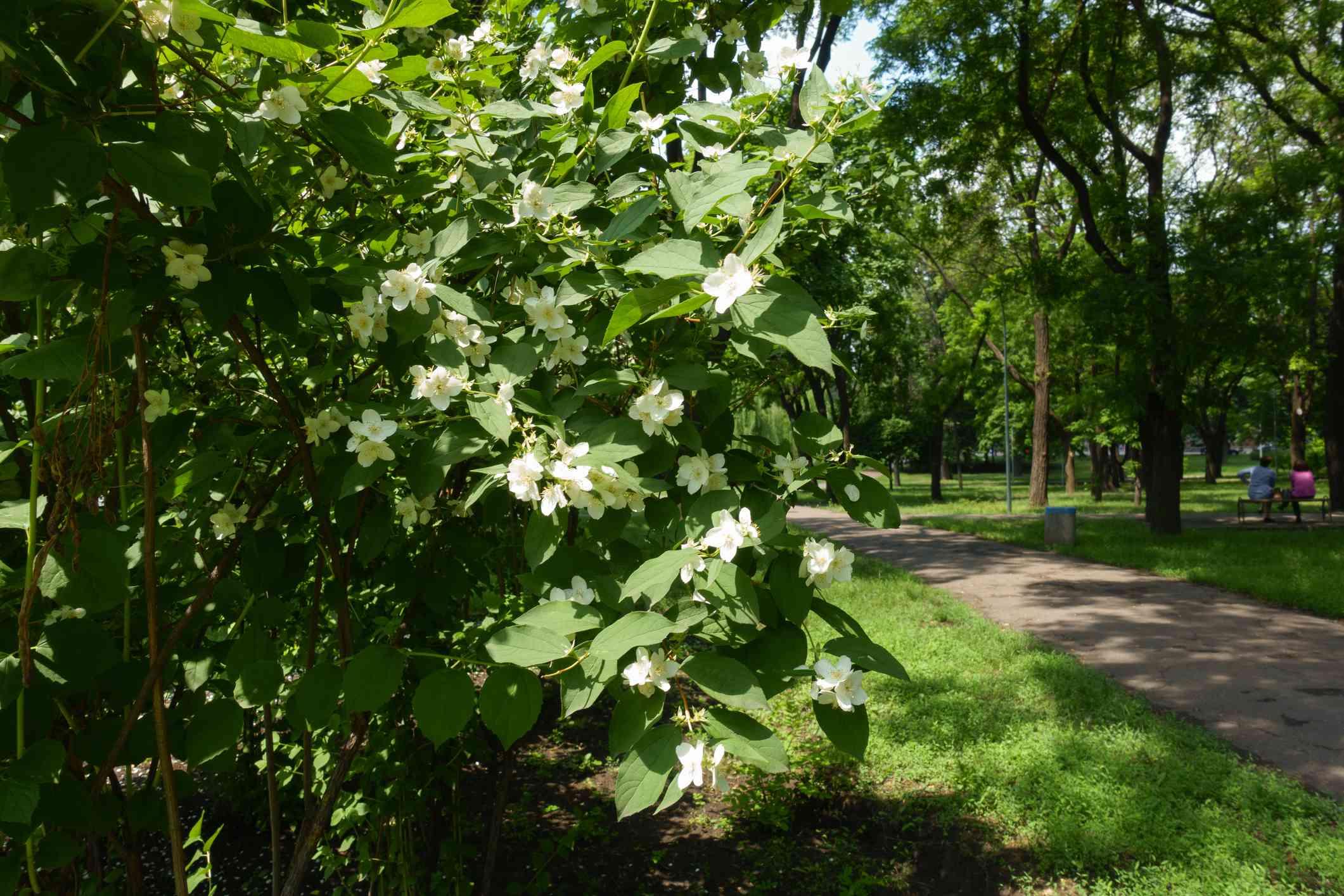 Bush of mock orange in bloom in the park in June