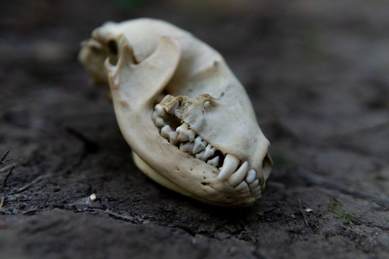 image of animal skull with teeth on black cracked earth