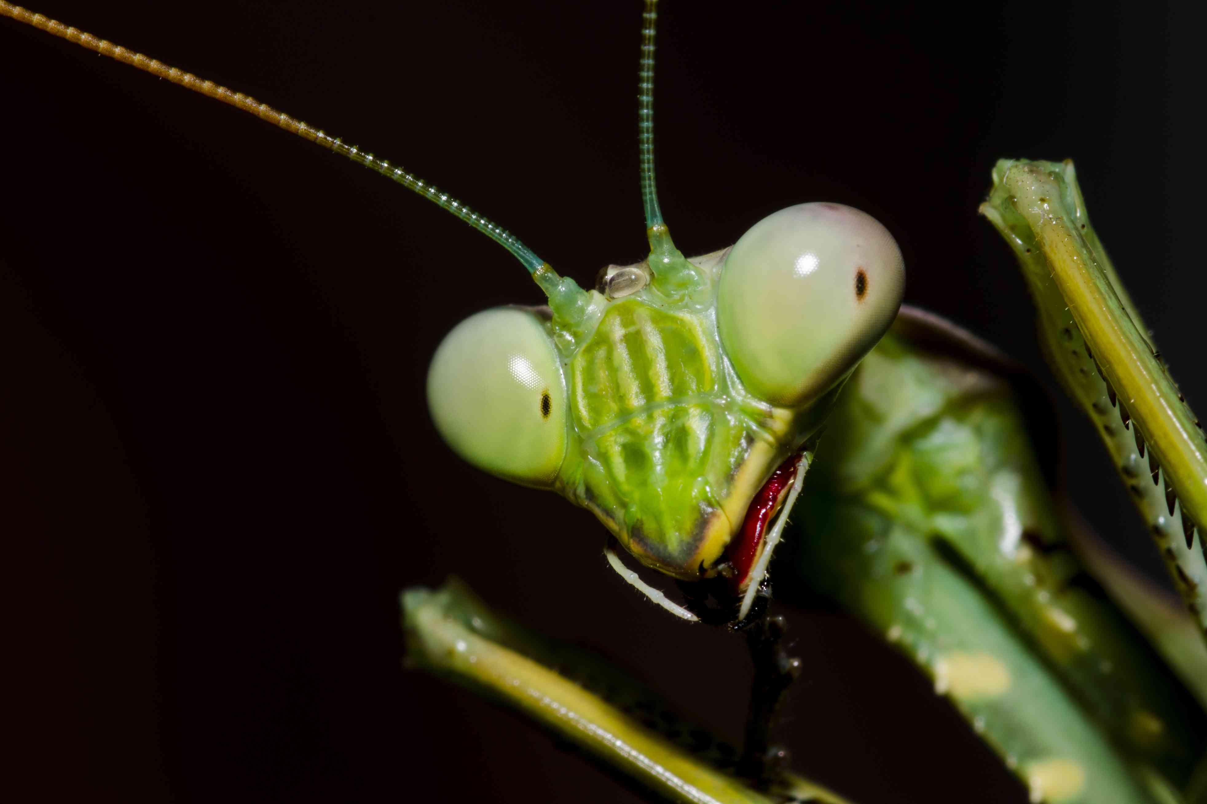 10 Wondrous Praying Mantis Facts