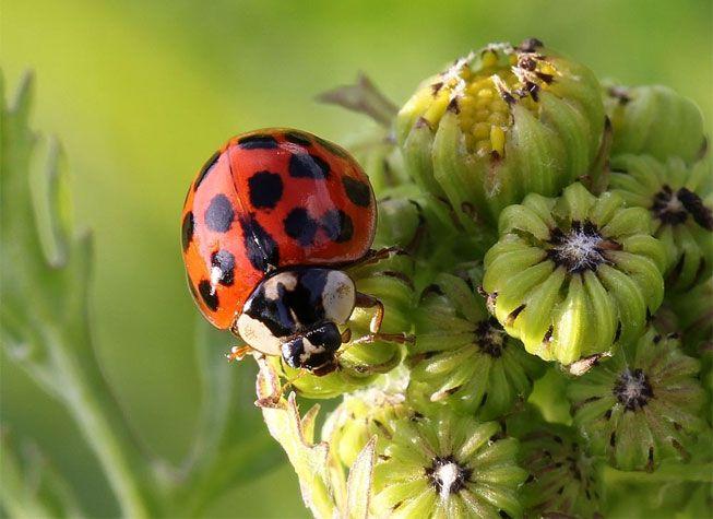 The Asian ladybug, Harmonia axyridis