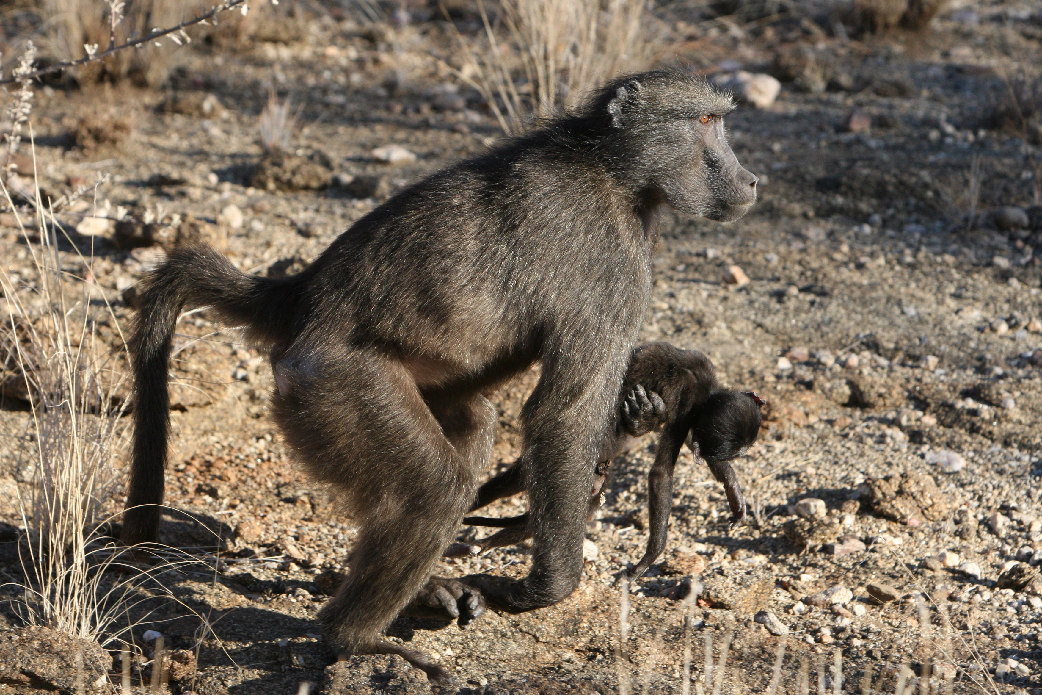 Why Some Primate Moms Carry Their Babies After They Die - Treehugger