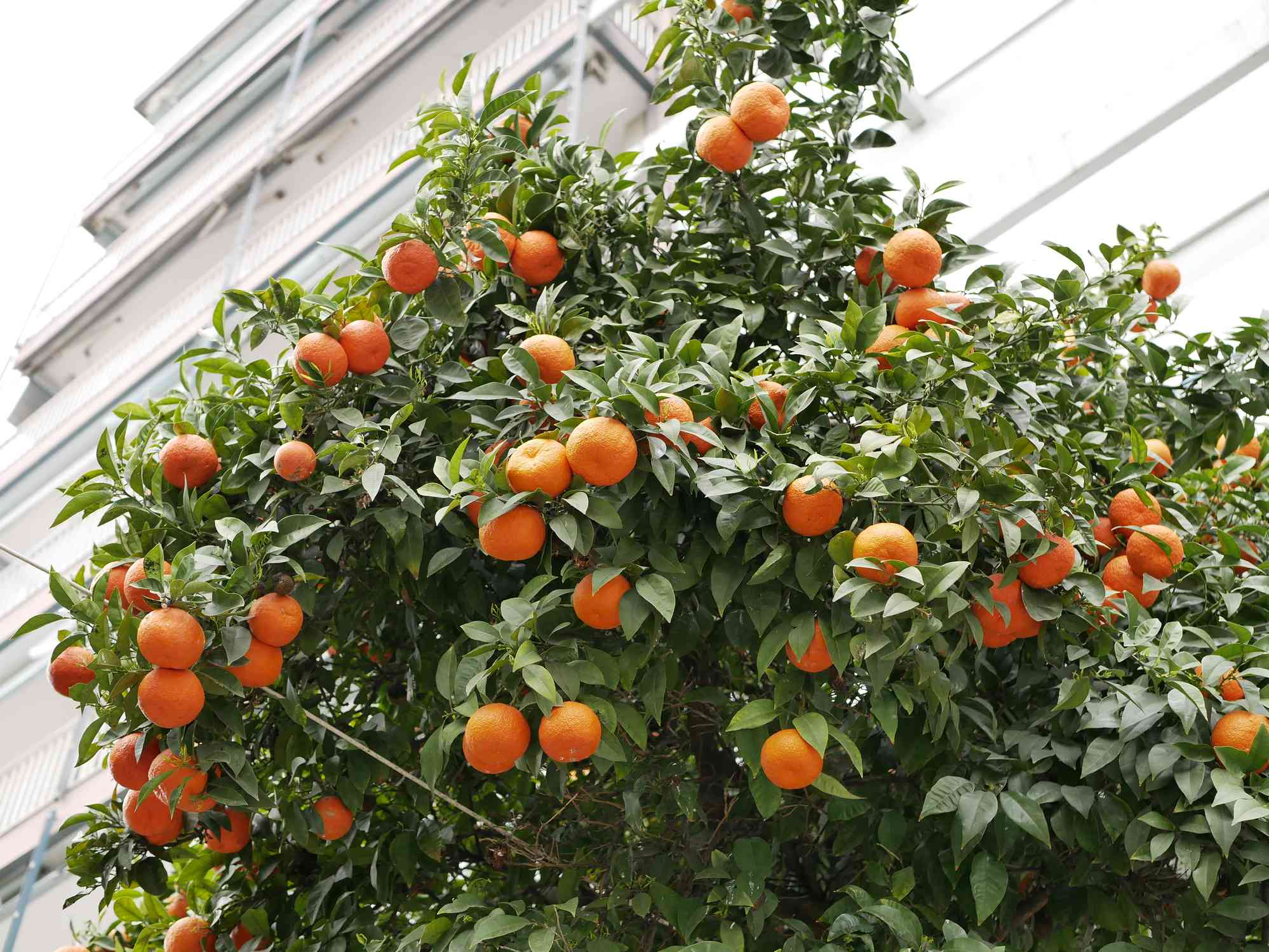 Oranges on a tree outside of an apartment building.