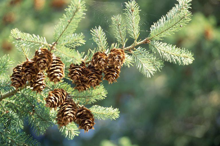 Douglas fir tree branch