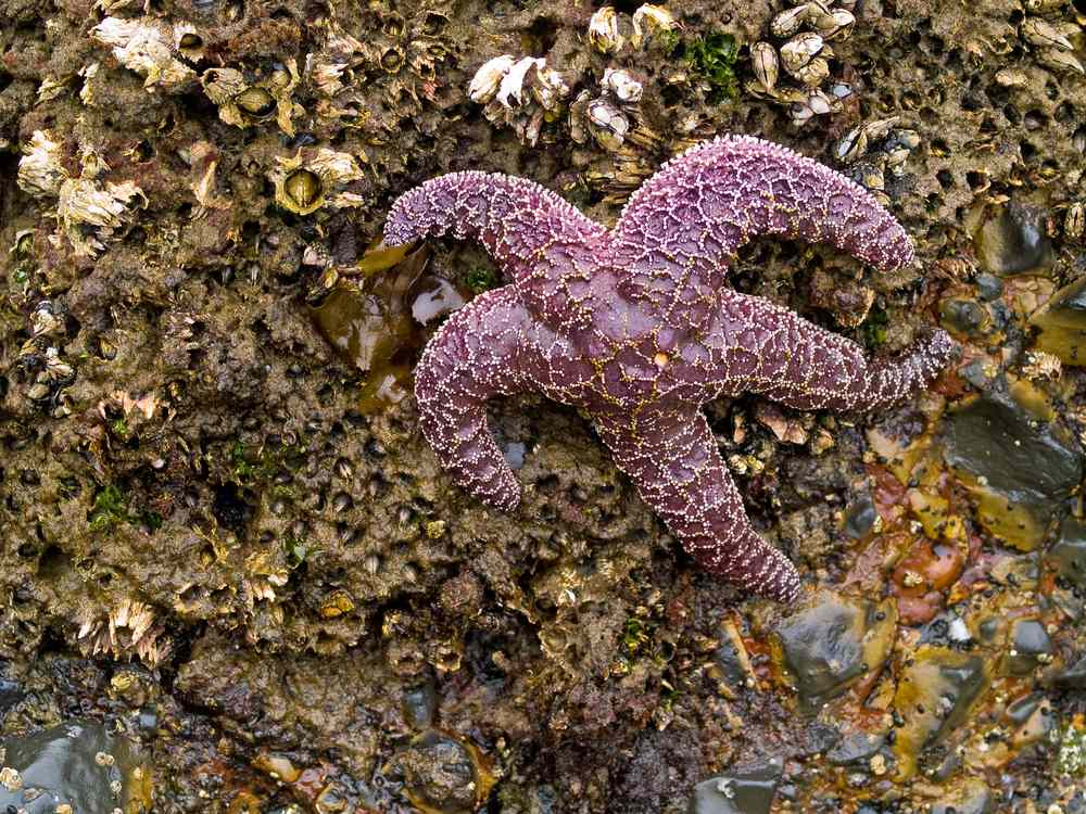 Starfish have suffered from this wasting disease before but never so rapidly or in such numbers.