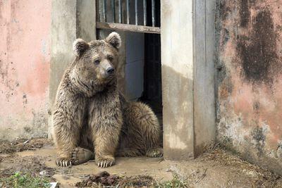Male bear Bubloo