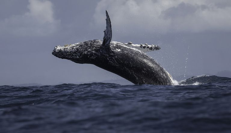 A Humpback Whale jumps in the air out of the water.