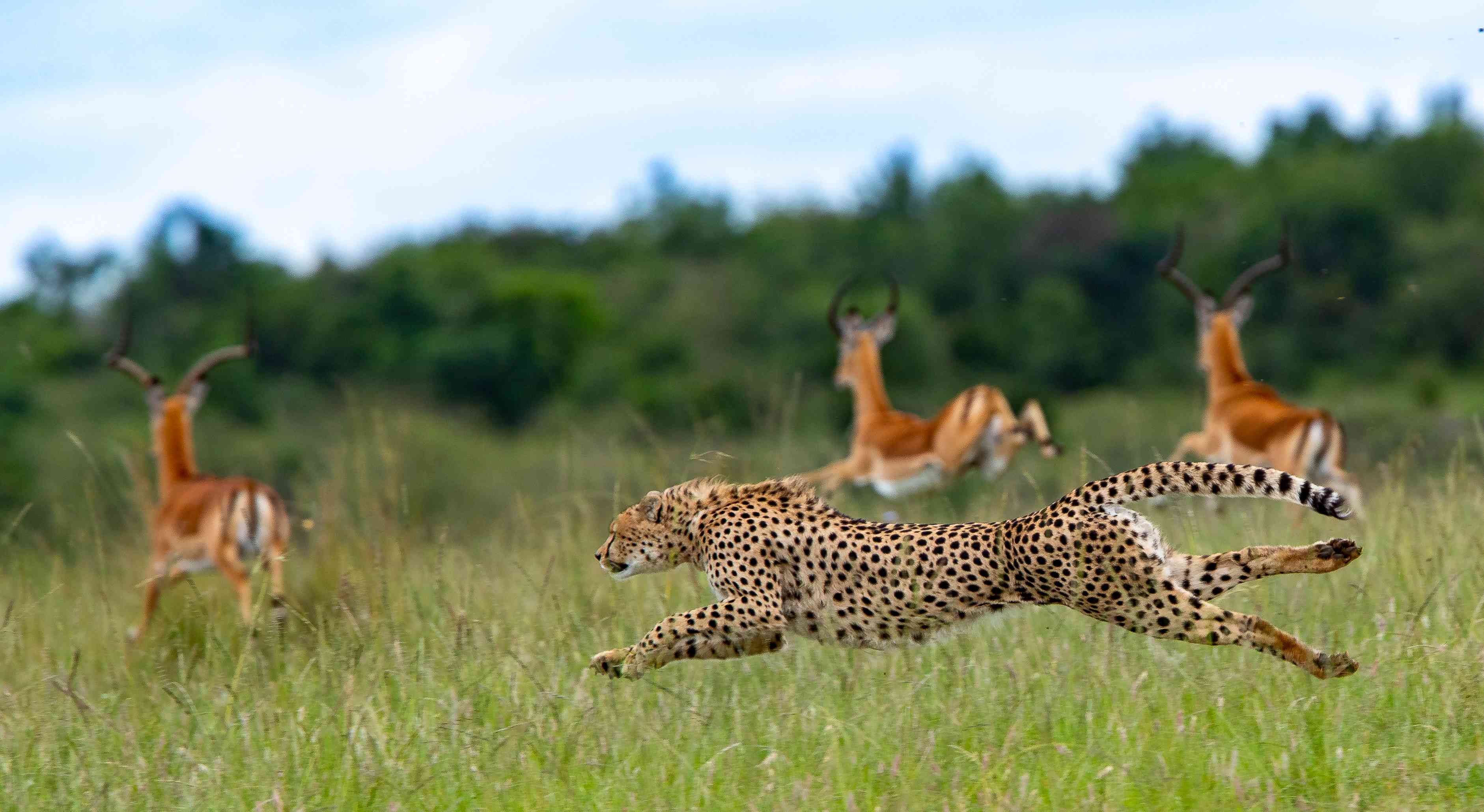 Side View Of Cheetah Running On Grassy Field Against Sky