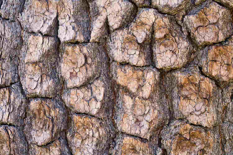 Pine Bark Closeup