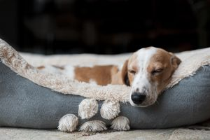 Dog sleeping in blue bed