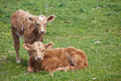 Irish Calves