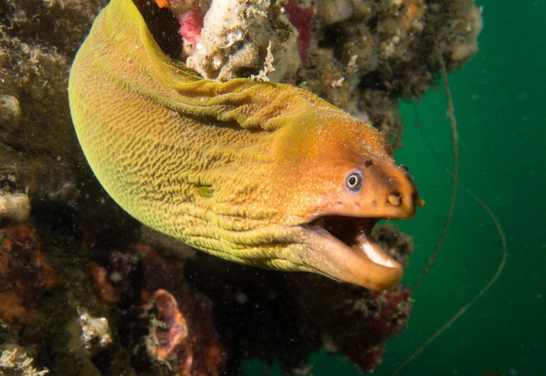 Close up of a moray swimming underwater