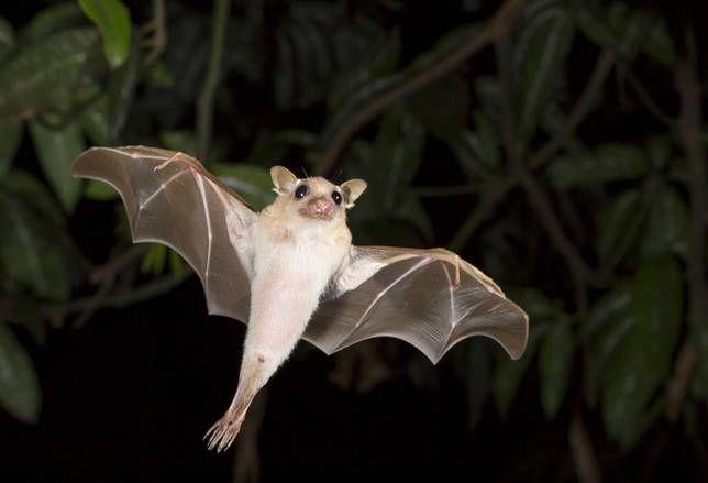 Dwarf epauletted fruit bat flies in the night sky