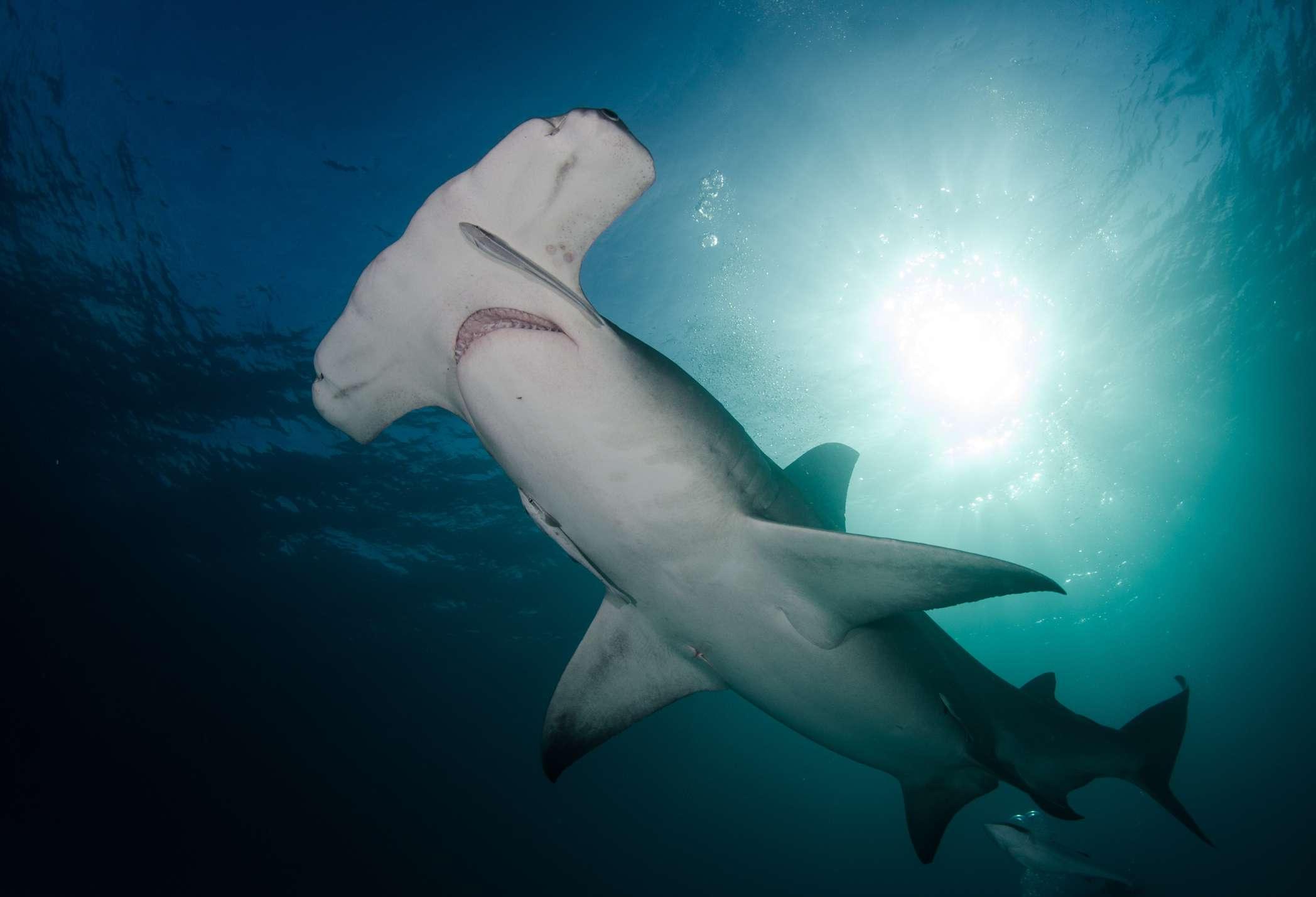 a great hammerhead shark in the Bahamas