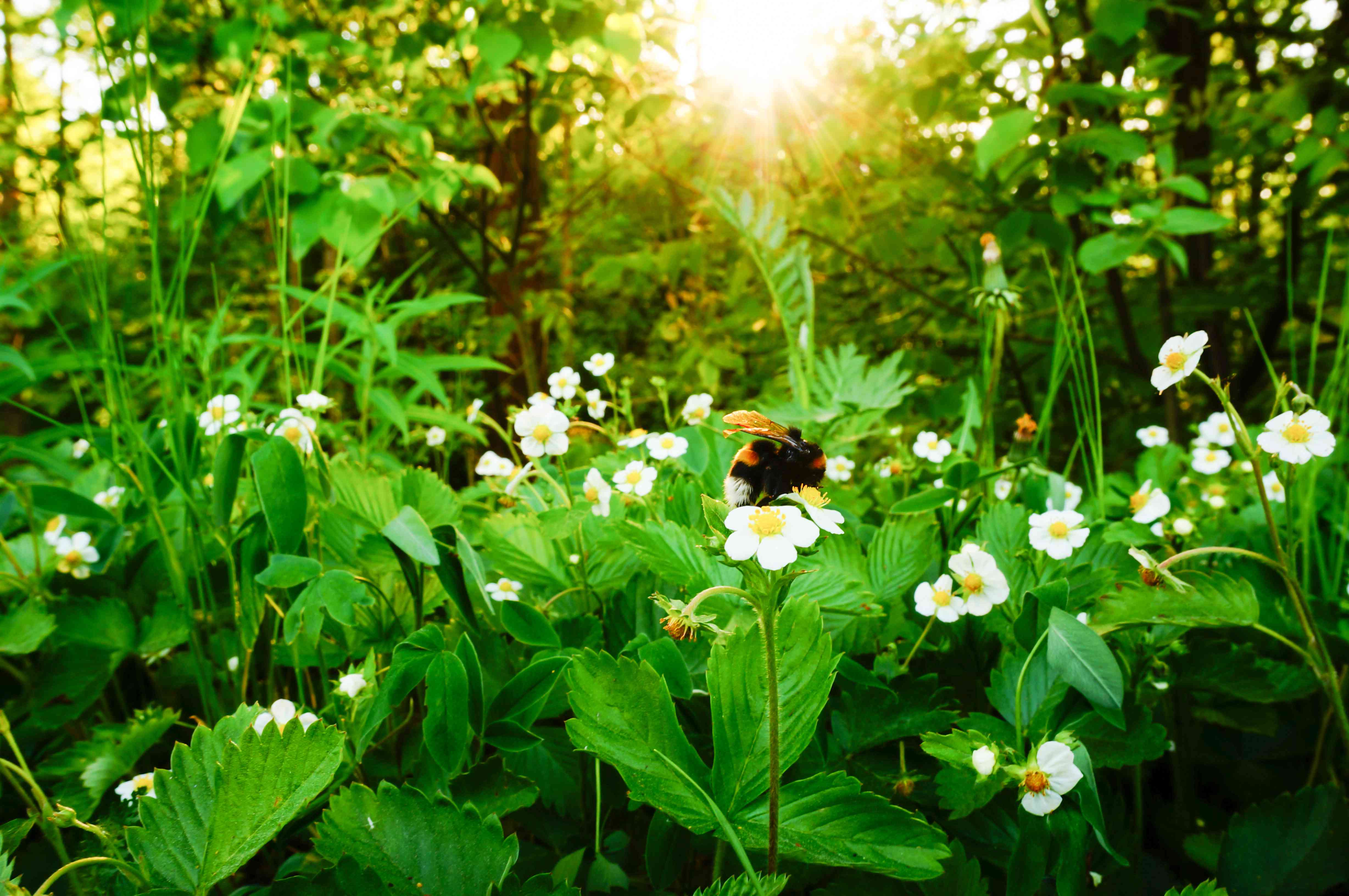 bumblebee on strawberry flowers