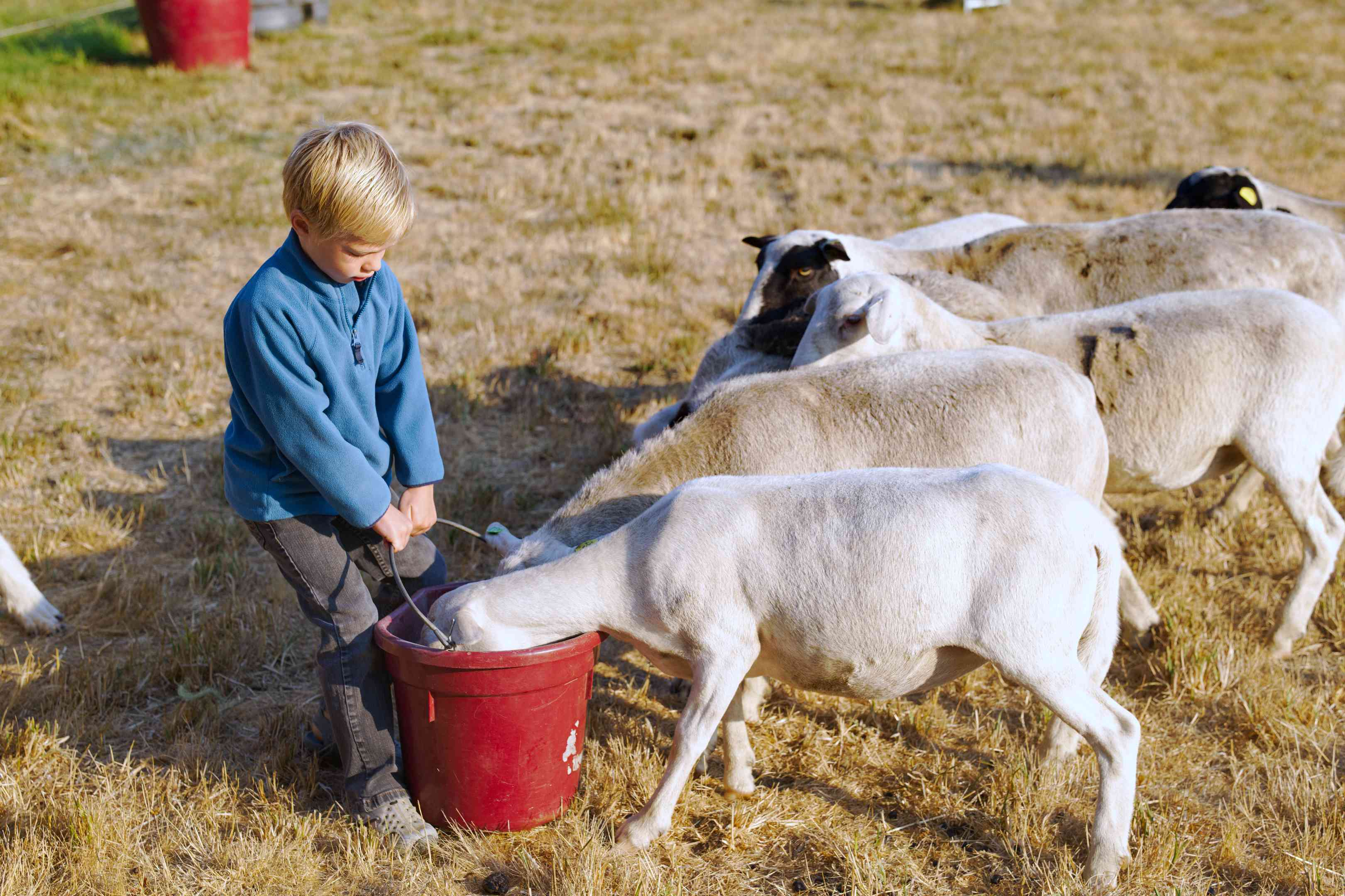 little boy holds red bucket full of food for sheep sticking full heads in