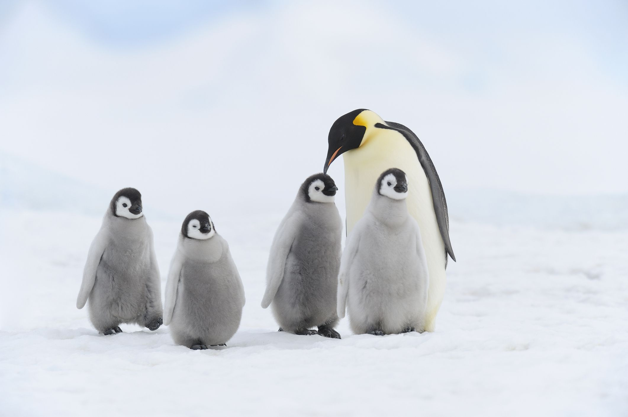 An adult emperor penguin and four chicks standing on the snow