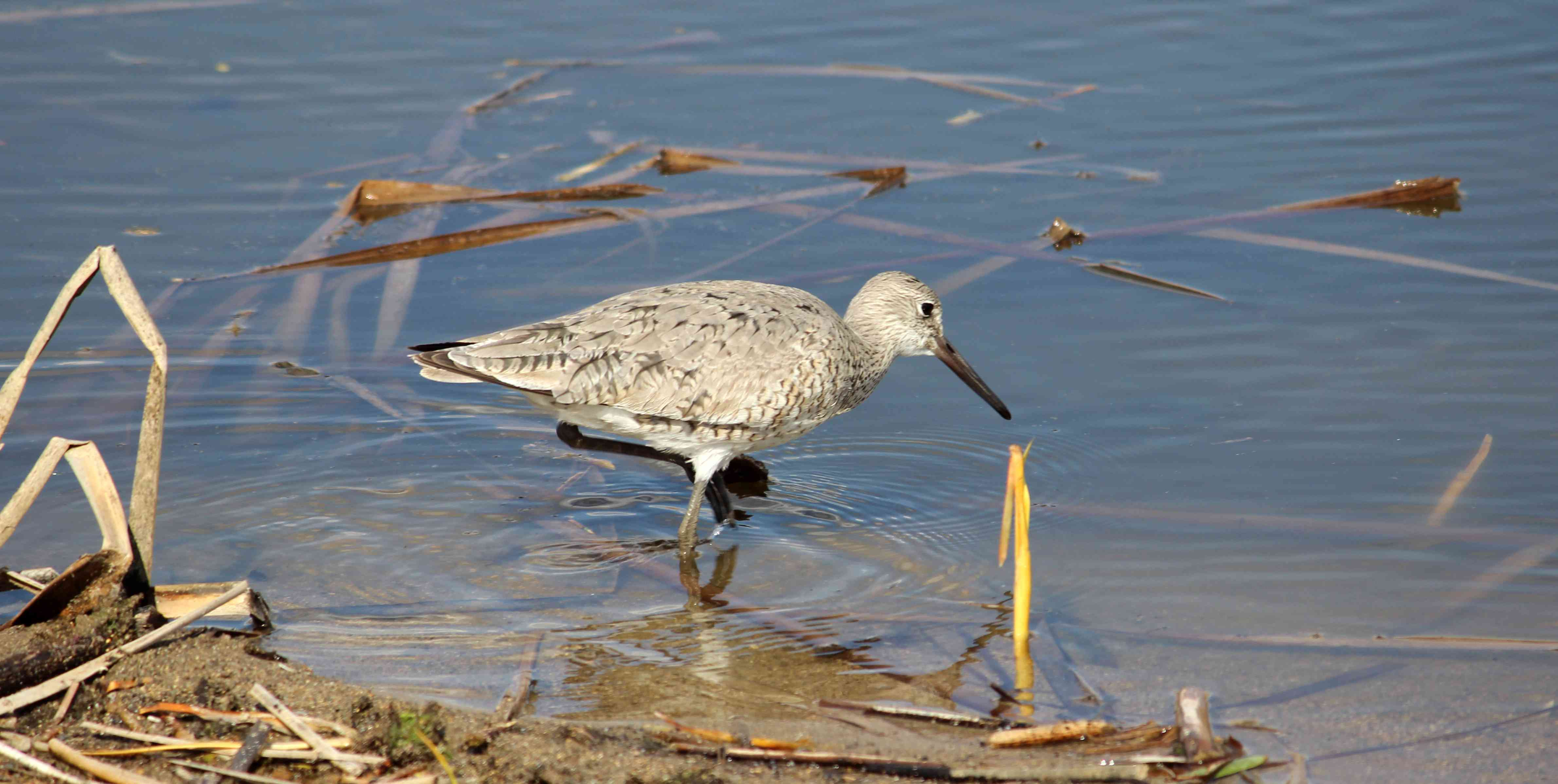 A willet forages along a wetland edge on the Schneider Waterfowl Production Area in North Dakota