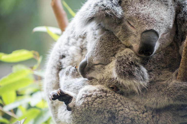 mother and baby koala cuddling
