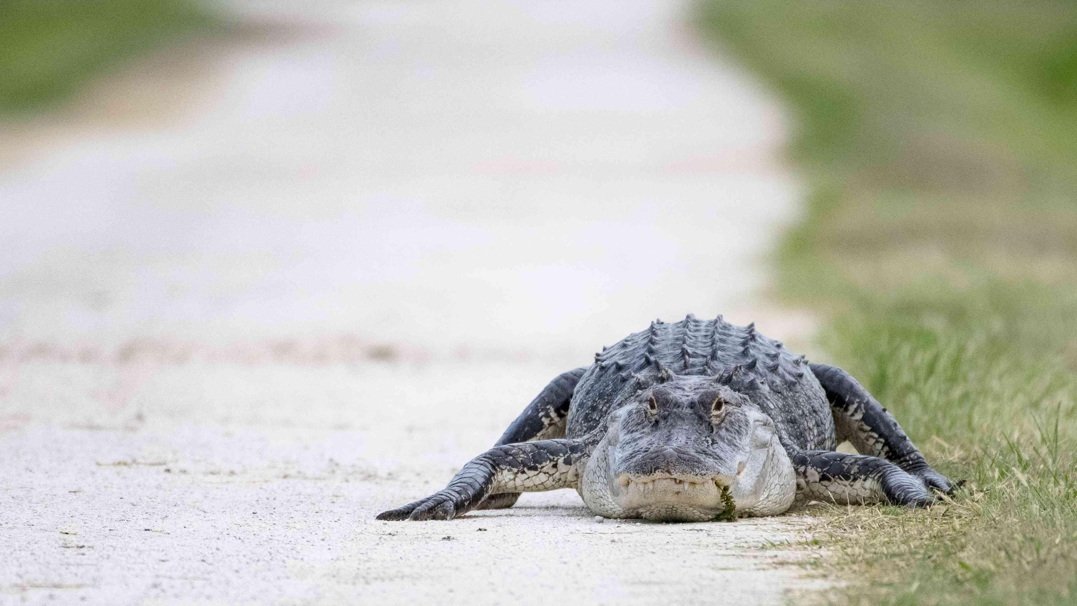 Alligator in Lake Apopka Wildlife Drive in central Florida