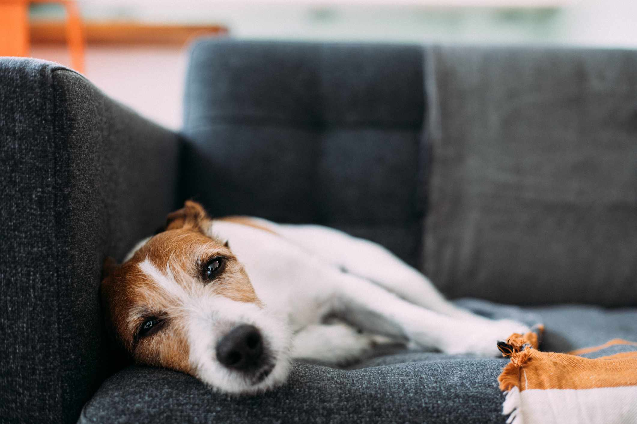 Parson Russell terrier lying on sofa, looking ill and sad
