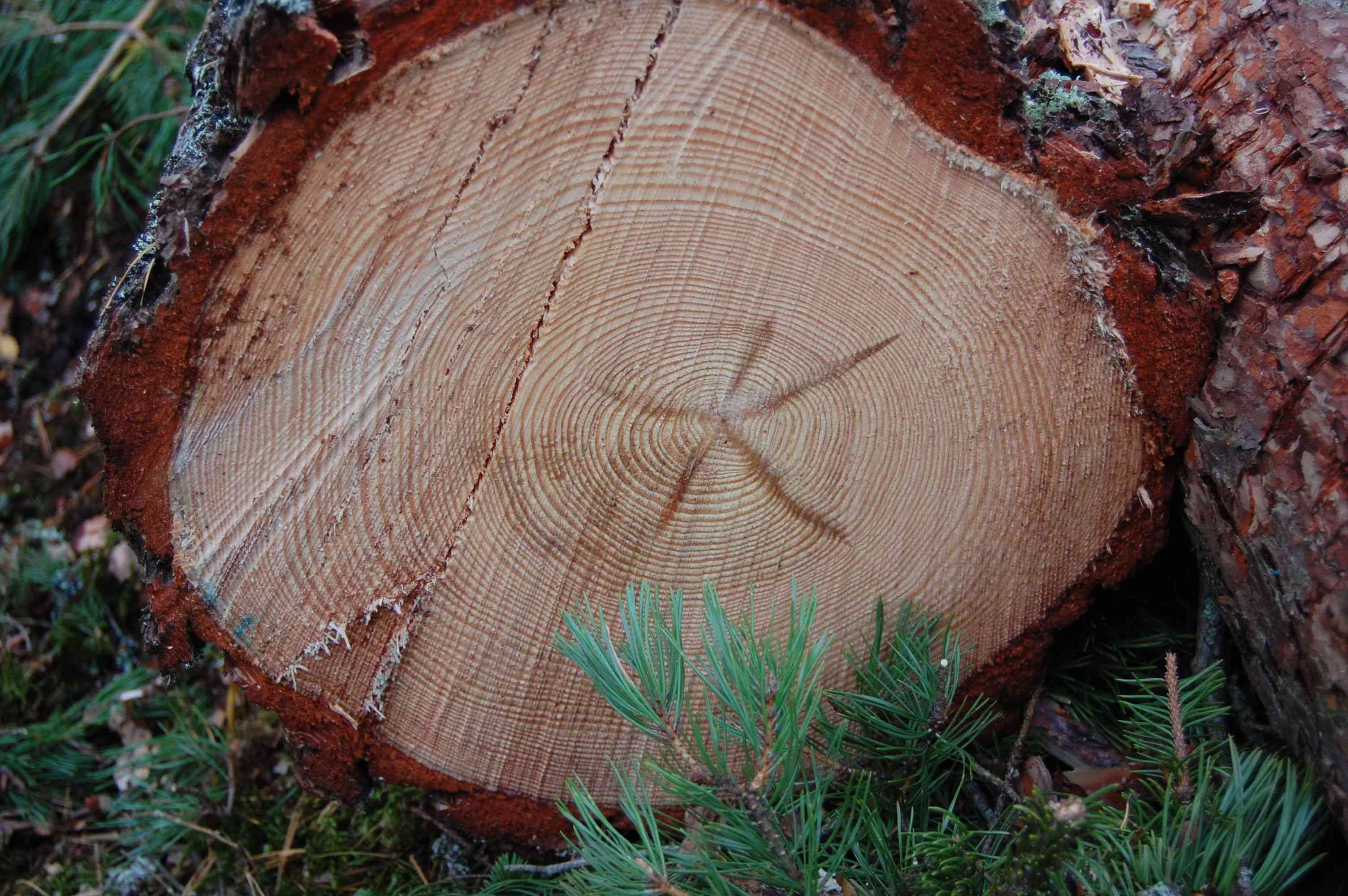 Picture of the cross-section of a sustainably harvested tree in Sweden