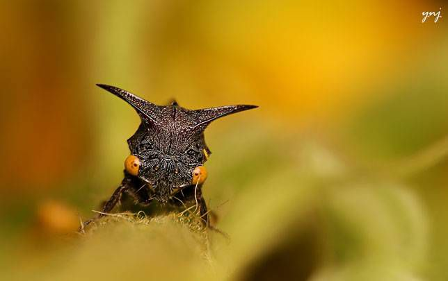 This treehopper looks like it has thorns
