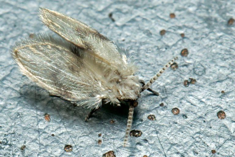 Closeup of a drain fly
