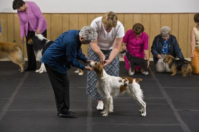 Dog in competition being examined by judge.