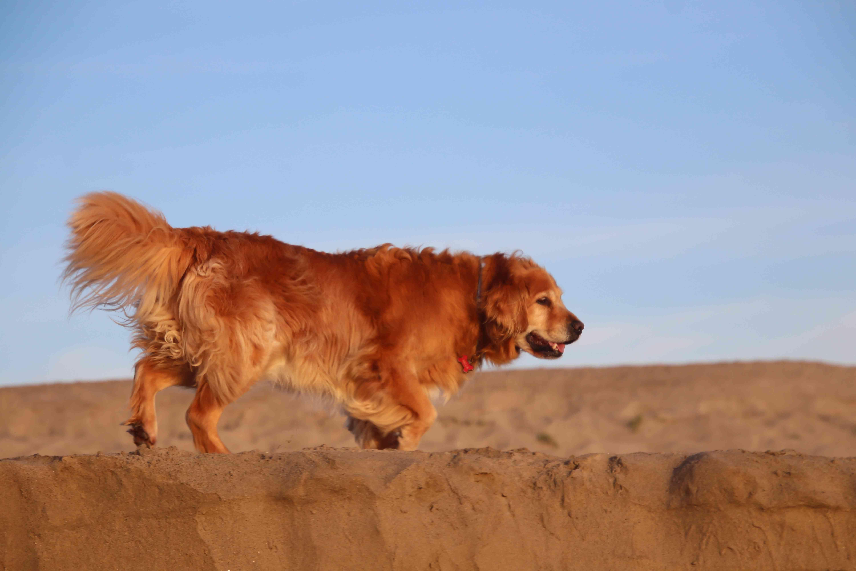 Senior golden retriever walking on the beach