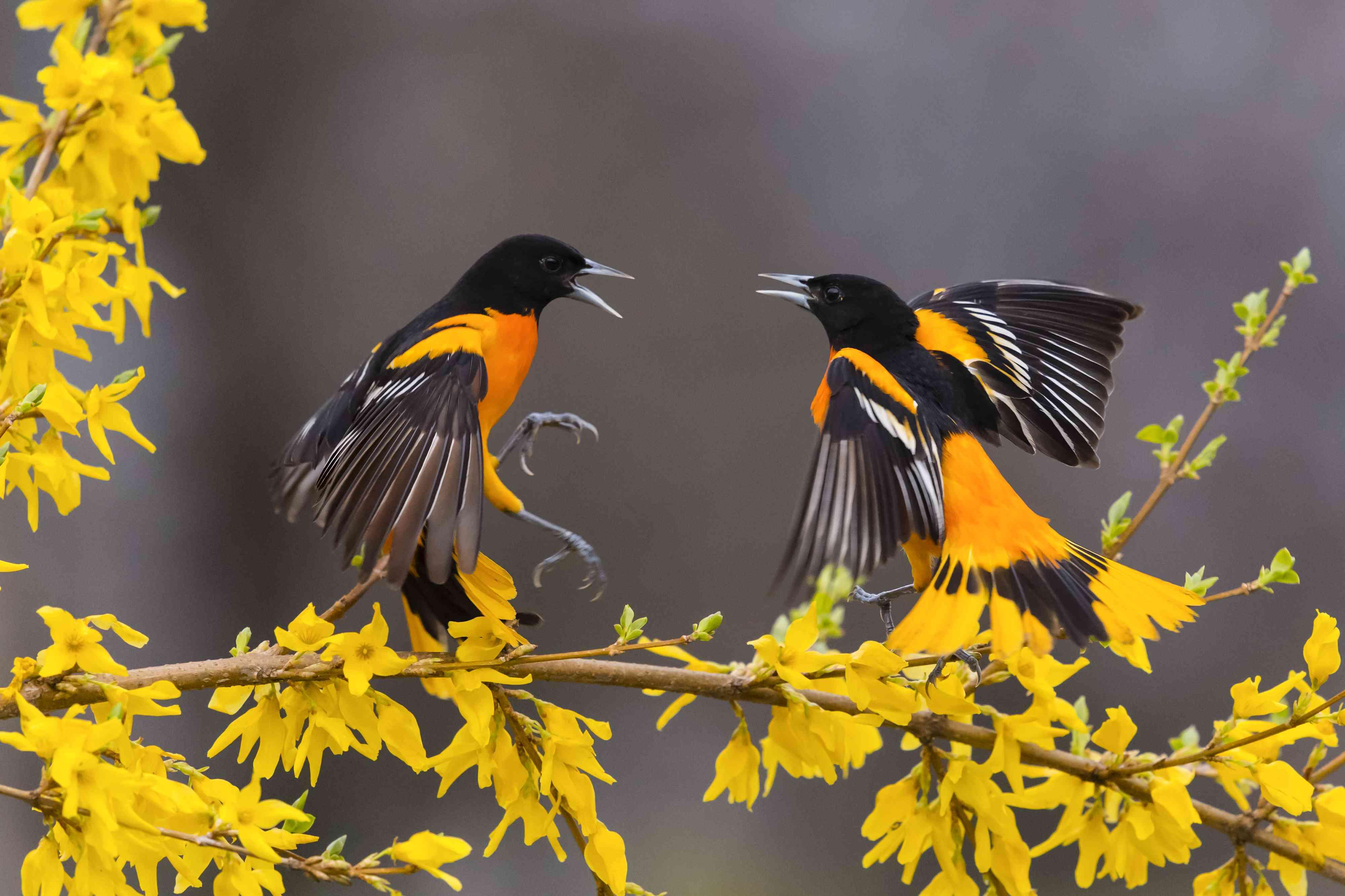 Baltimore oriole, icterus galbula, two male birds fighting