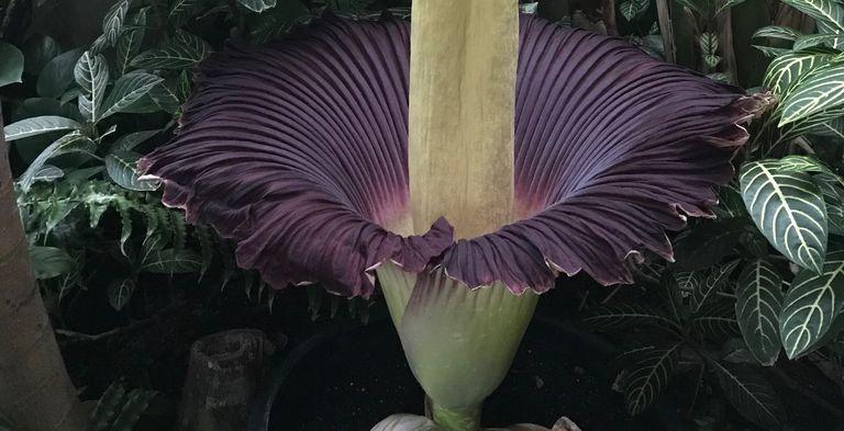 Nashville Zoo corpse flower