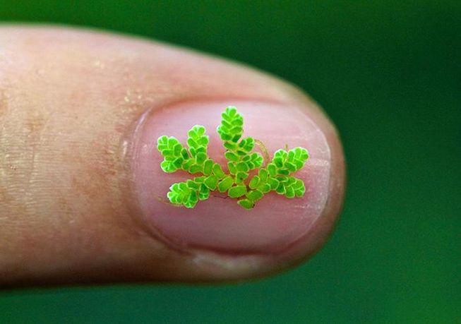 Este pequeño helecho podría ayudar a combatir el cambio climático
