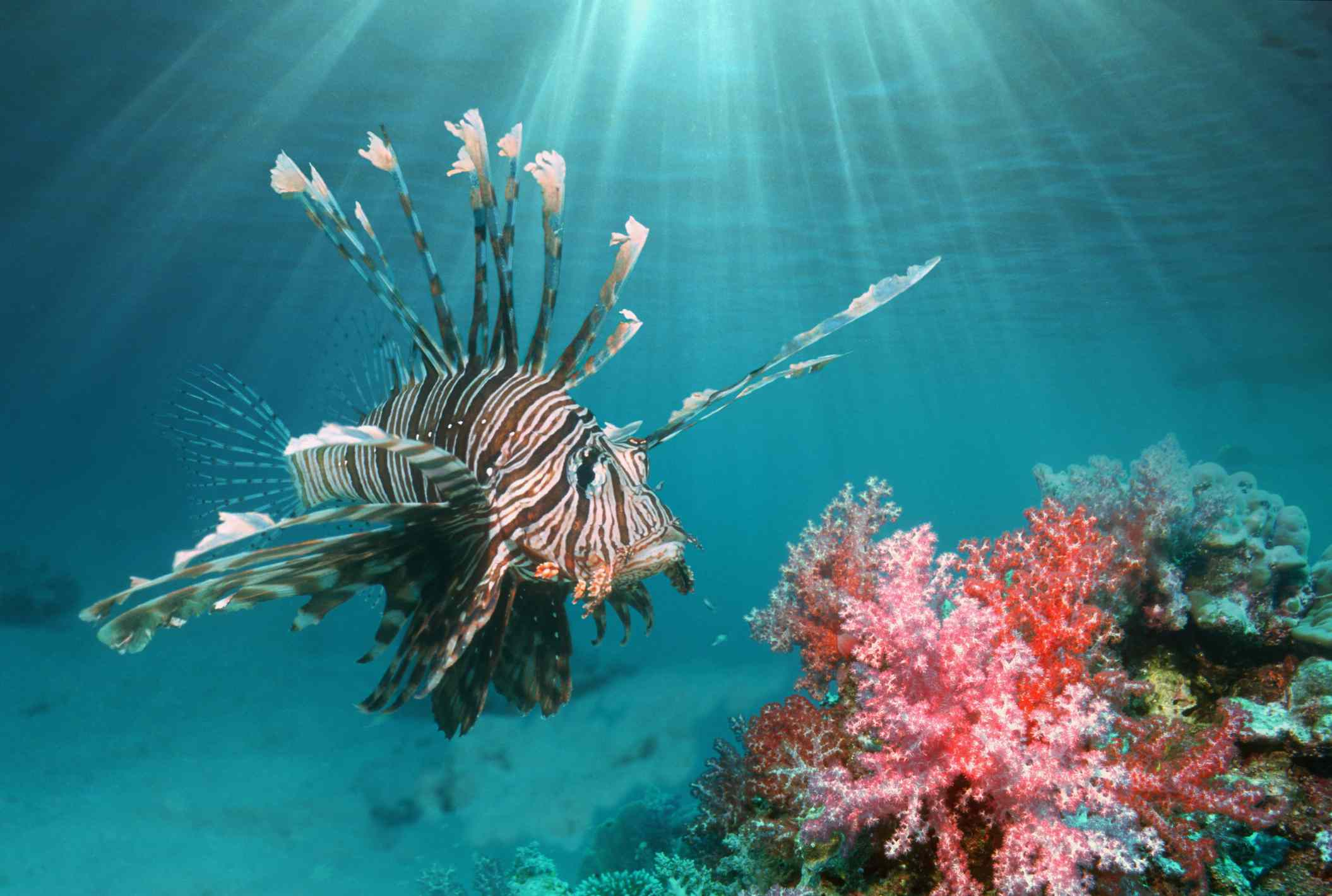 A lionfish swimming among pink and red corals