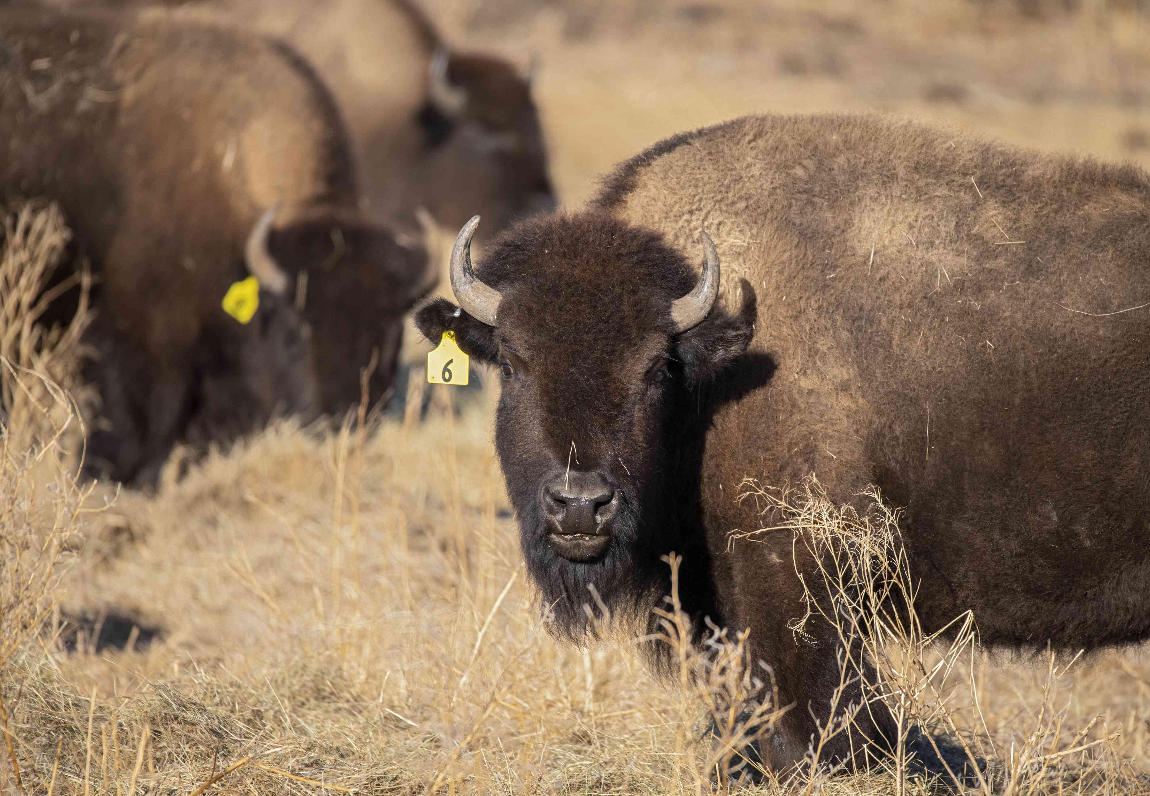 bison graze after release