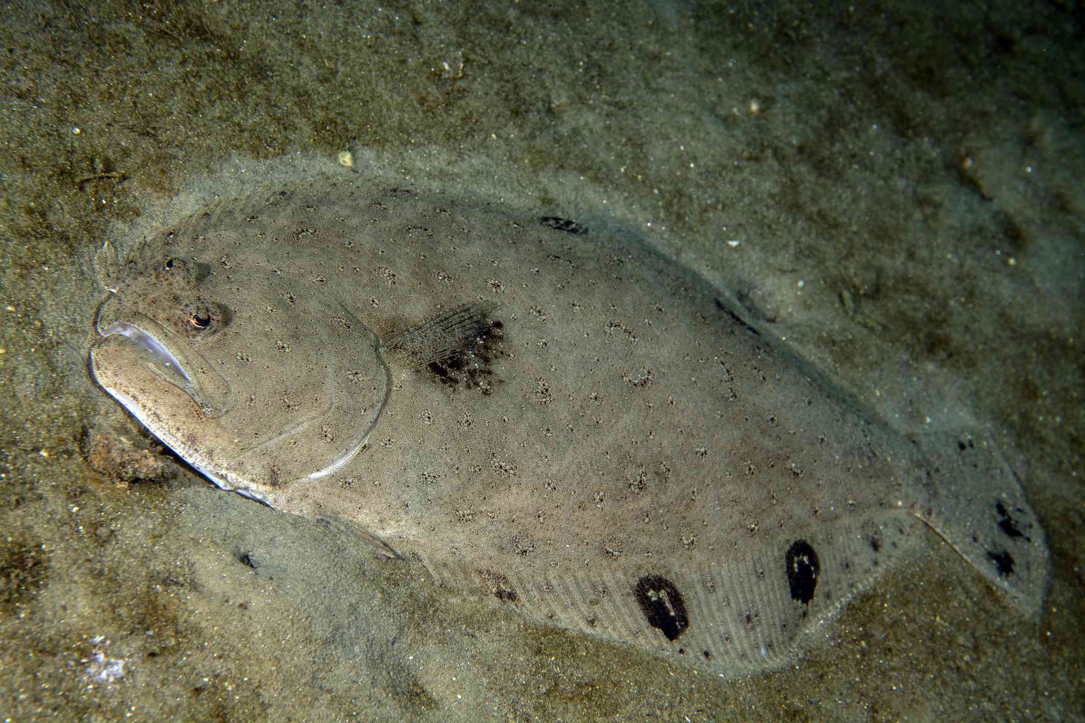 gray flounder with black spots rests flat on ocean floor and blends in