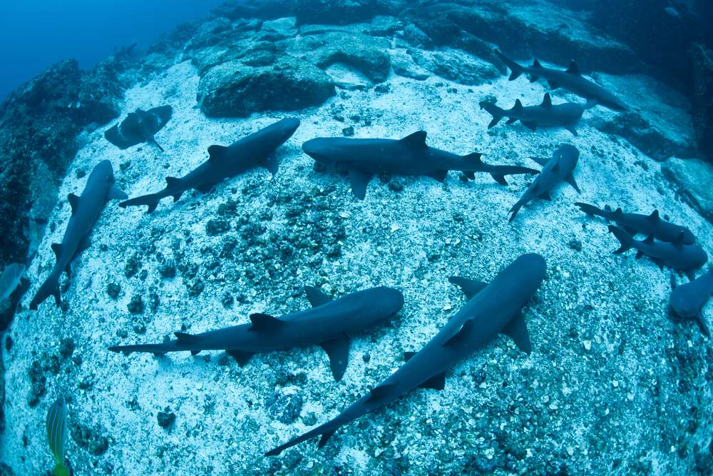 Sharks have a long memory and can return to the place they were born after many years.